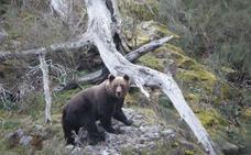 Localizan los restos de un oso pardo en avanzado estado de descomposición en Casasuertes