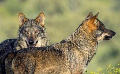 Asaja pide que se puedan abatir más lobos en Ávila tras un nuevo ataque en Gredos
