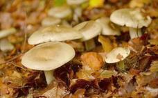 Una semana para el manjar de otoño