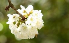 La cereza de Corrullón se pone guapa en Intur