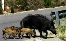 Castilla y León toma muestras de 3.000 jabalíes para controlar la peste porcina, pero pide coordinación con Portugal