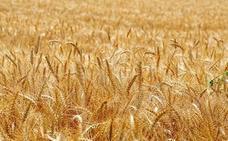 Asaja advierte de un importante retraso en las siembras de cereal de invierno por la meteorología