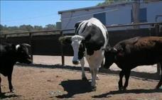 La vaca gigante de Australia