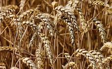Asaja alerta de una elevada caída de la superficie de siembra de trigo en León