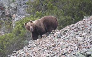 La necropsia de los restos de un oso pardo cantábrico hallado en Casasuertes descarta el disparo como muerte