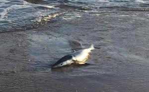 Hallan en la playa asturiana de Salinas a un tiburón varado