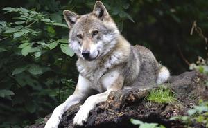 Denuncian batidas de lobo clandestinas e ilegales en el Parque Nacional Picos de Europa