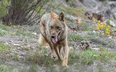 El lobo ibérico se recupera hasta alcanzar las 297 manadas con un incremento del 20% en Castilla y León