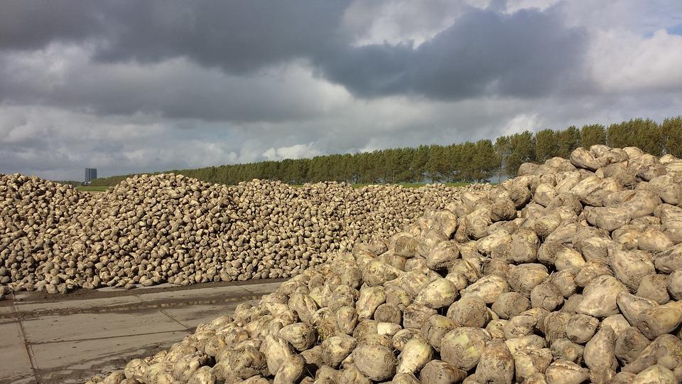 Azucarera pagará 42 euros por tonelada de remolacha cuando el precio del azúcar alcance los 560 euros