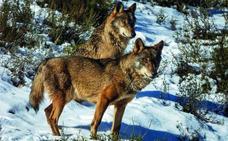 Castilla y León cobija en su territorio cerca de 2.000 ejemplares de lobo
