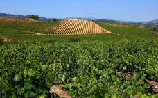 La Junta simplifica trámites administrativos y permite solicitar autorizaciones de replantación de viñedos durante todo el año