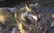 El lobo llega a los 16 ataques al año en la vertiente leonesa de Picos de Europa