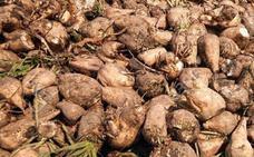 Asaja agradece el «inevitable»◄ anuncio de pago de la ayuda de tres euros por tonelada de remolacha