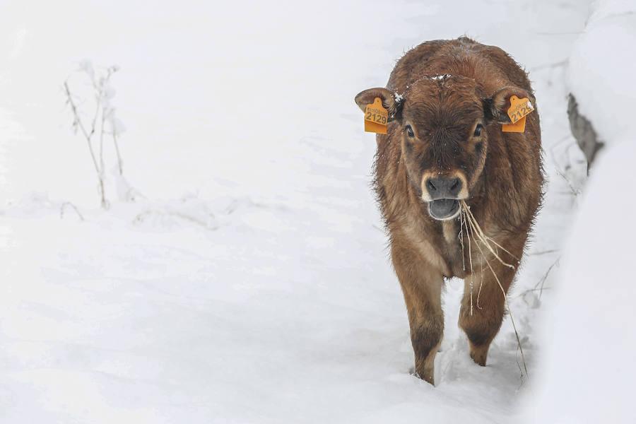 Imágenes de nieve en Pajares, Cármenes y Busdongo
