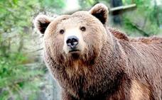 El oso pardo cantábrico podría reducir su población a la mitad en 50 años