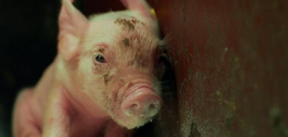 'M6nths': Así es la vida de un lechón hasta su muerte