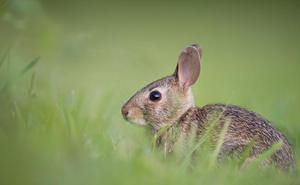 Los conejos amenazan el AVE