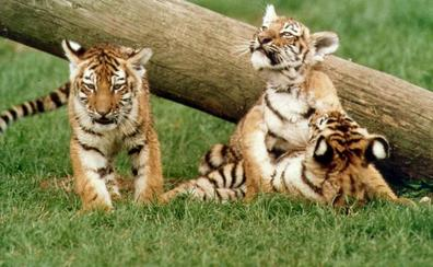 La preocupante moda de los cachorros de león y de tigre