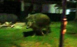 Tres cerdos vietnamitas y un jabalí mantienen cuatro horas en vilo a los vecinos de La Granja
