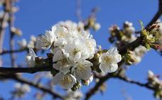 Corullón organiza varias actividades para disfrutar de la floración de los cerezos