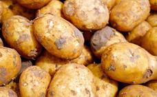 León, sin patatas en el campo