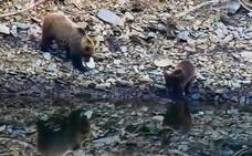 Los 350 osos de la Cordillera Cantábrica 'estrenan' la primavera