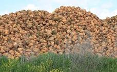 La Junta estima una reducción en las siembras de remolacha de 3.000 hectáreas y un trasvase de producción entre empresas