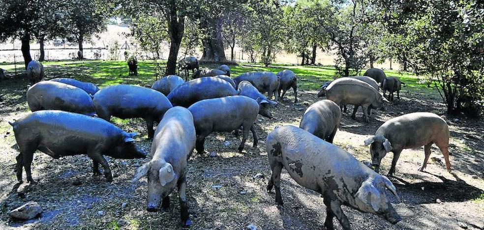 Castilla y León sacrifica el 6% de los cerdos de bellota de España en esta campaña