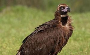 León cuenta con 313 parejas de buitre leonado, una especie que aumenta frente al alimoche y el halcón peregrino