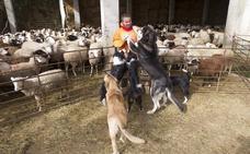 Mastines y pastoreo tradicional, la fórmula para proteger el ganado de los lobos