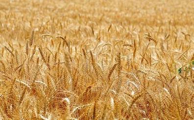 Asaja denuncia subidas de las primas de los seguros agrarios en líneas como los cereales y el viñedo