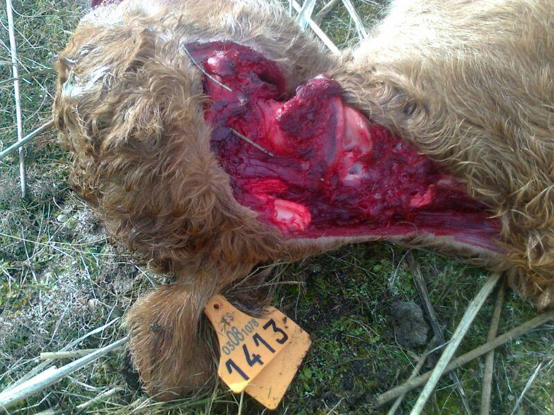 Aumentan los ataques de lobo en León