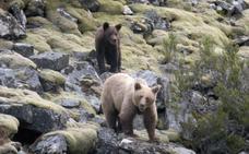 Cuando el oso se hace mayor en León