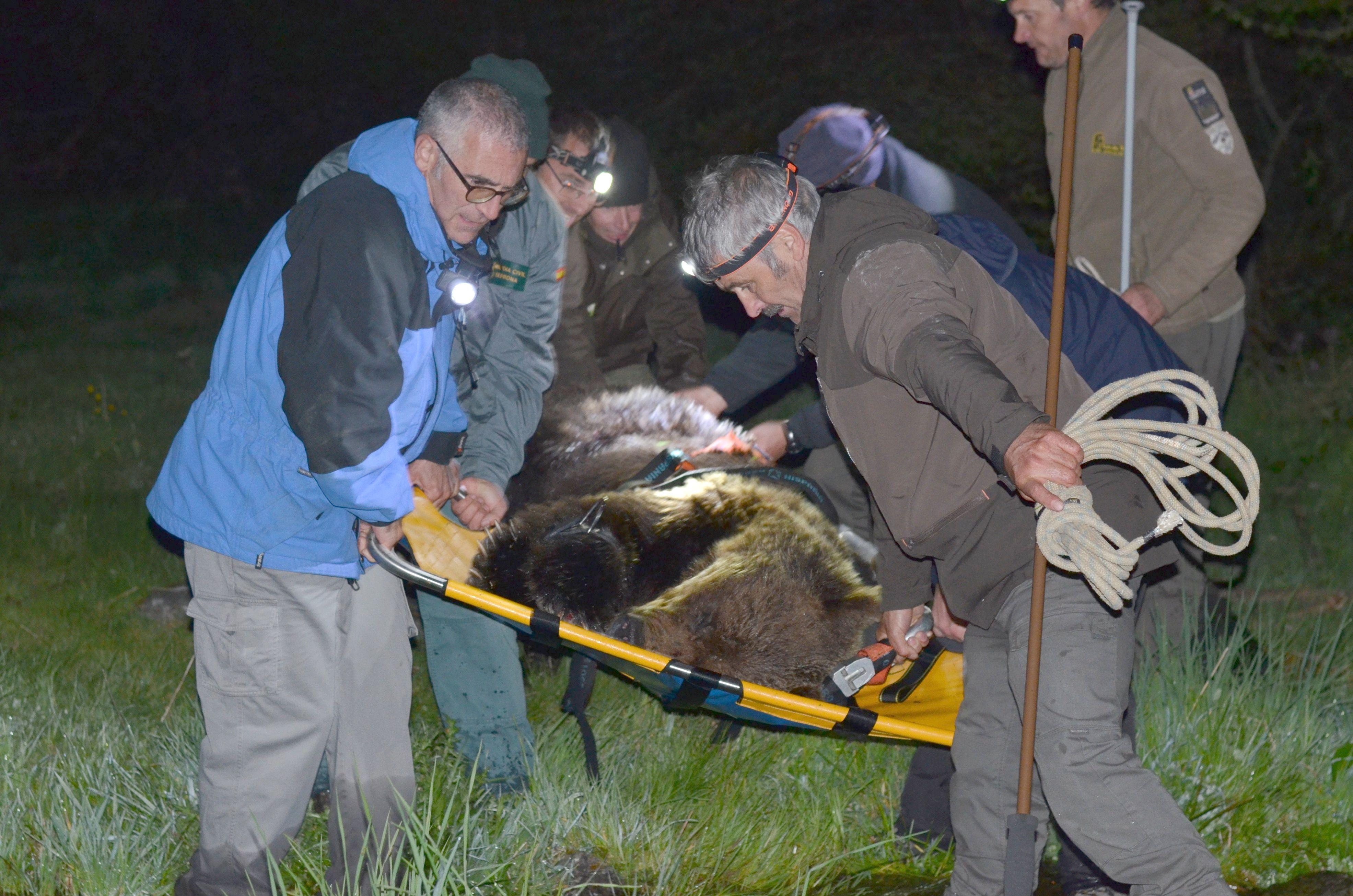 Un oso pardo atrapado en Palacios del Sil