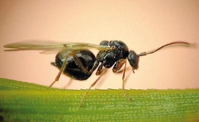 La Junta practica en León sueltas experimentales de un parásito para el control de la avispilla del castaño