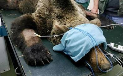 Fallece el oso pardo localizado en Palacios del Sil tras no superar las graves heridas que le habían dejado parapléjico