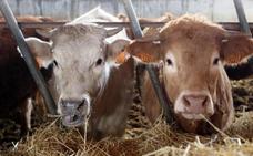 El TSJCyL anula la exención de licencia a las explotaciones ganaderas intensivas