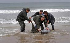 Aparecen 17 delfines varados en Oyambre