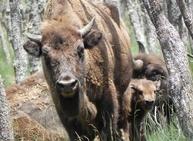 Guzmán, el bisonte leonés, cumple tres años