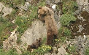 Piden treinta meses de cárcel para los dos acusados de disparar a un ejemplar de oso pardo