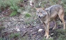 Ecologistas pide acabar con la caza y el control de población del lobo en Picos de Europa para favorecer su conservación