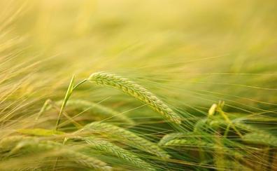 Asaja ve «catastrófica» la cosecha de cultivos herbáceos por el alto riesgo de sequía