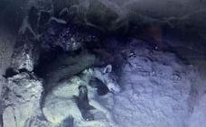 Cuatro nuevos lobeznos, en el Centro del Lobo de Robledo