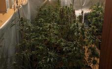 La Guardia Civil detiene a cinco personas y decomisa 431 plantas y 4700 gramos de marihuana seca en dos actuaciones