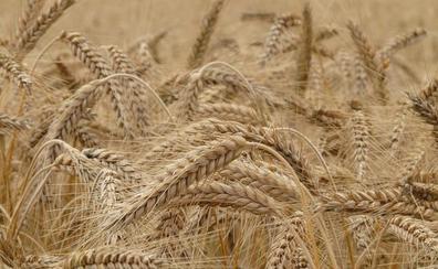 La sequía condena de nuevo al campo leonés al perder la mitad de la cosecha de cereal