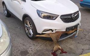 La imagen: un ciervo empotrado en un vehículo en Astorga
