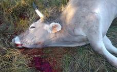 Matan a tiros a cuatro vacas en la finca de un ganadero de la localidad de Vilecha