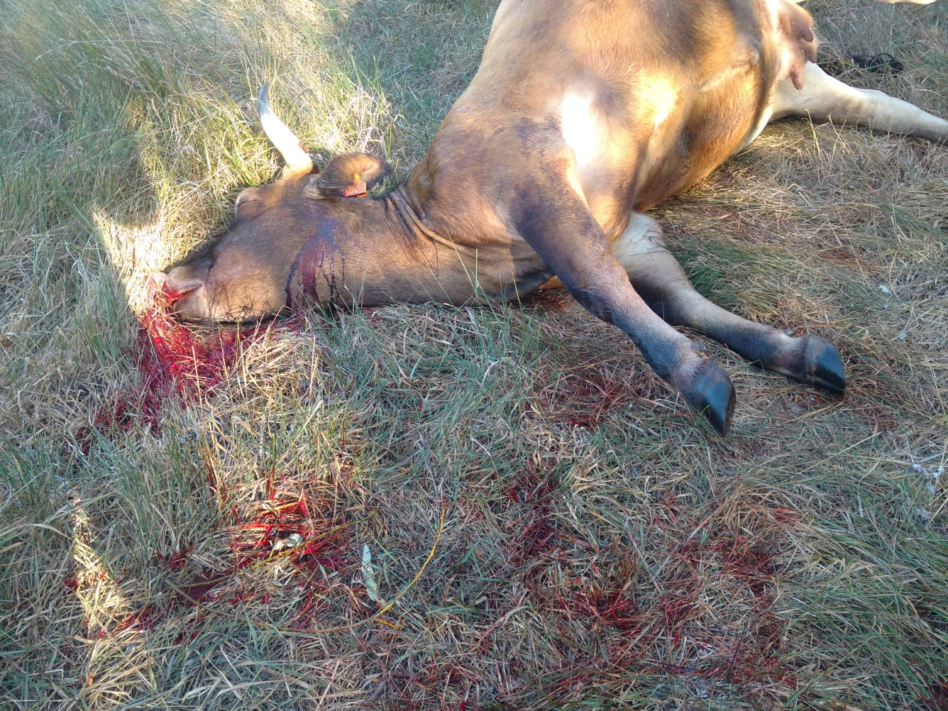 Brutal muerte de cuatro vacas