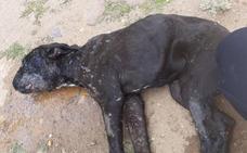 Muere en el Clínico la perra encontrada en la carretera de Ferral del Bernesga