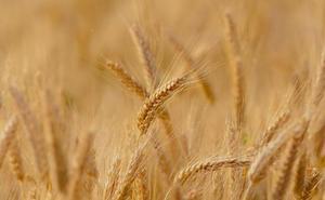 El inicio de la cosecha y los peritos agrarios confirman rendimientos con pérdidas del 56% en el secano leonés